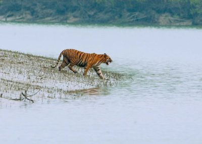 TigerCover