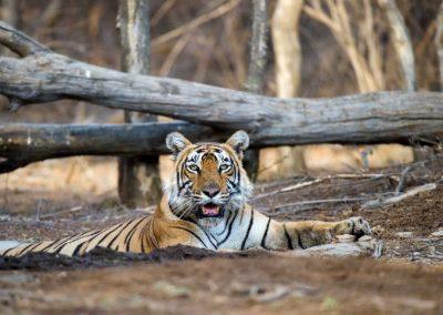 tiger222