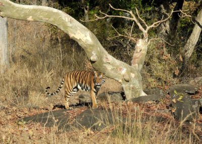 tigerkanha